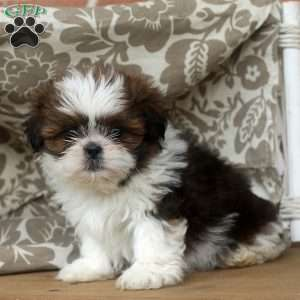 shih tzu puppies for sale in philadelphia shih tzu puppies for sale in de md ny nj philly dc and 8844