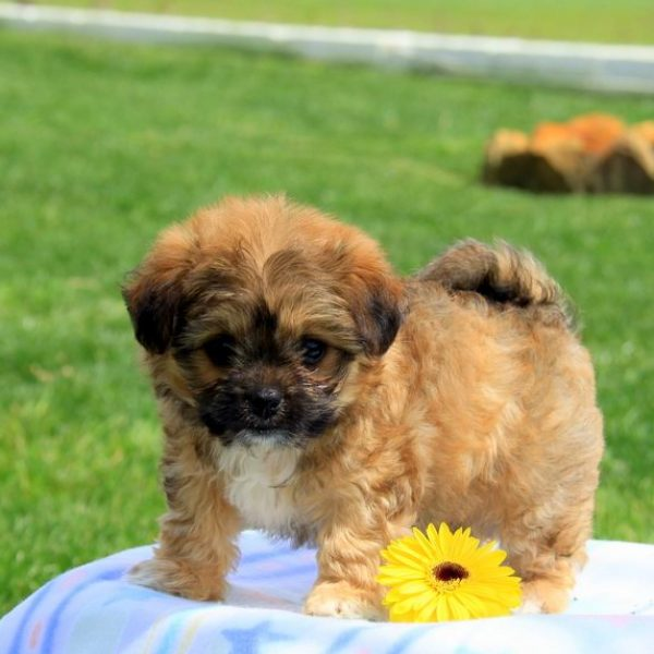 Puppies for sale in pa find your perfect puppy at greenfield puppies chi chon puppy voltagebd Choice Image