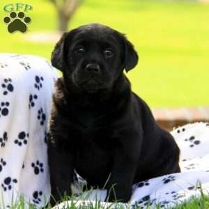 Black lab puppies in lancaster pa