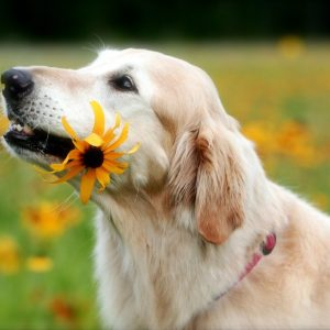 how to care for senior dogs - older golden retriever