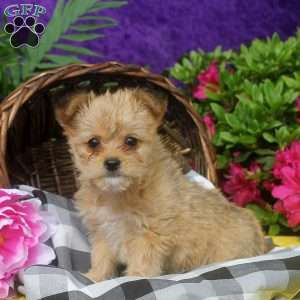 yorkie chon for sale yorkie chon puppies for sale greenfield puppies 5580