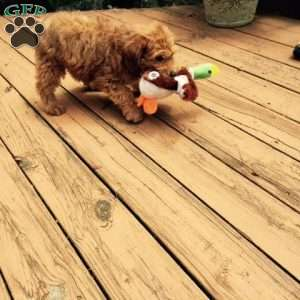 miniature whoodle puppies for sale in de md ny nj philly