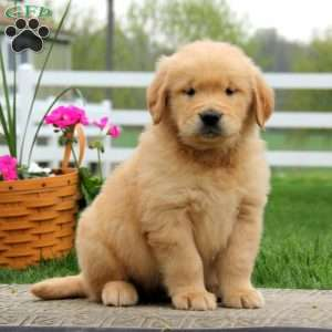 Golden retriever puppy for sale orange county ca