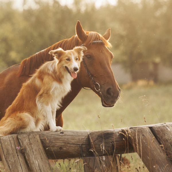dog breeds on the farm - dog with horse