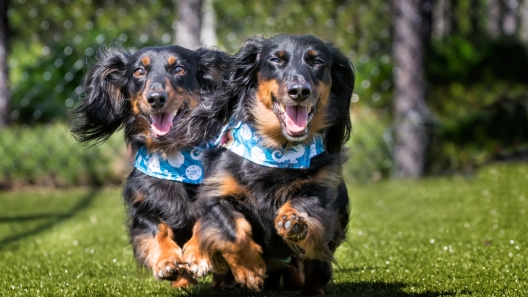 Adorable Famous Wiener Dogs
