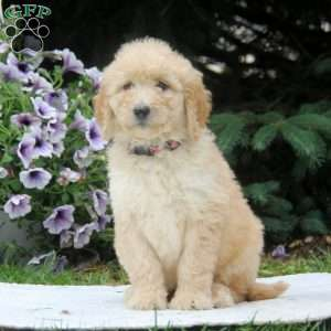 Miniature golden retriever puppies ct