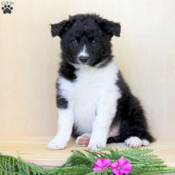 Carlo, Border Collie Puppy