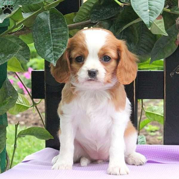 Charla, Cavalier King Charles Mix Puppy