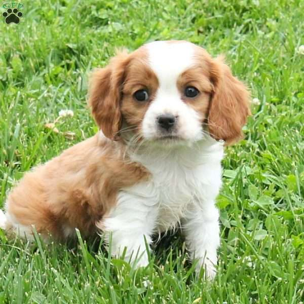 Chris, Cavalier King Charles Mix Puppy