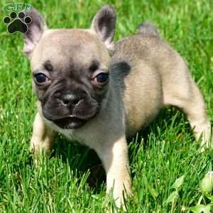 French Bulldog Puppies For Sale in PA MD NJ NY