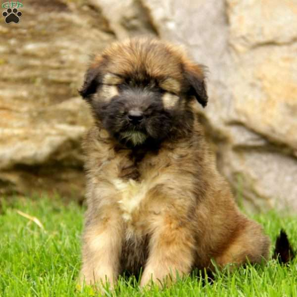 Lars - Soft Coated Wheaten Terrier Mix Puppy For Sale in ...