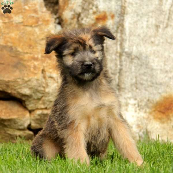 Louie - Soft Coated Wheaten Terrier Mix Puppy For Sale in ...