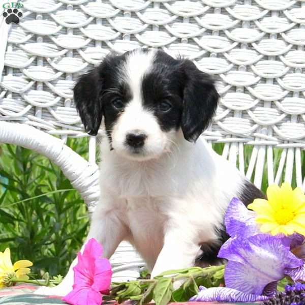 Marian, Cavalier King Charles Mix Puppy