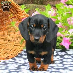 Image result for dachshund puppies