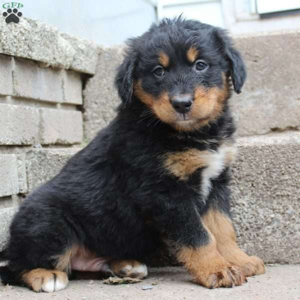 Sampson, Bernese Mountain Dog Mix Puppy