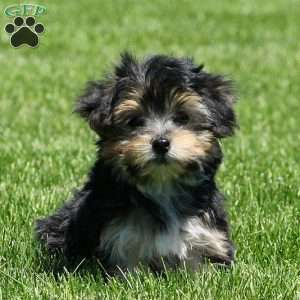 yorkie chon for sale yorkie chon puppies for sale greenfield puppies 7976