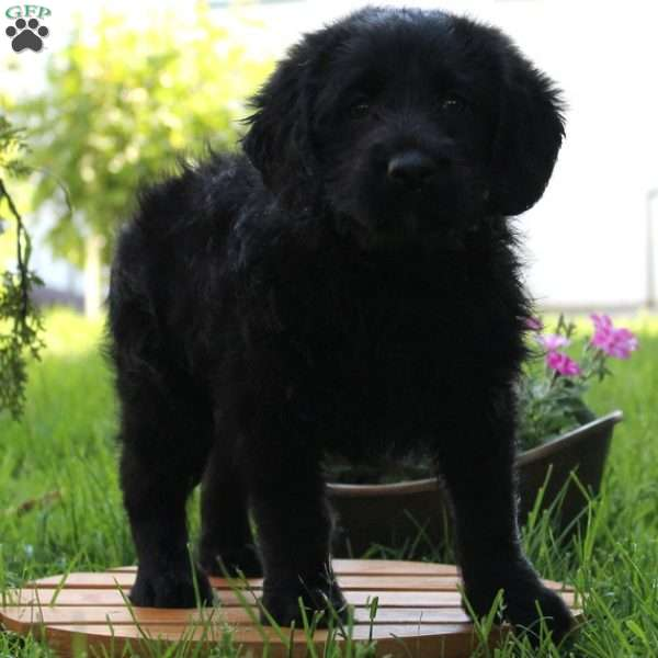 Tommy, Labradoodle-Miniature Puppy