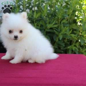 teacup pomeranian for sale in nj pomeranian puppies for sale in de md ny nj philly dc and 6263