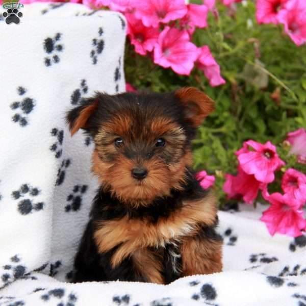 Abby, Yorkshire Terrier Puppy