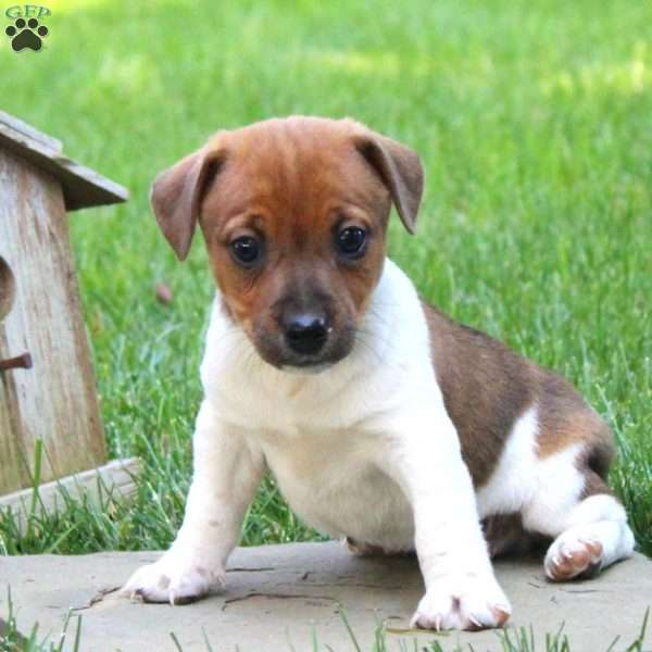 Colorado, Jack Russell Terrier Puppy