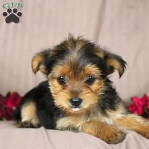 yorkie chon for sale yorkie chon puppies for sale greenfield puppies 7281