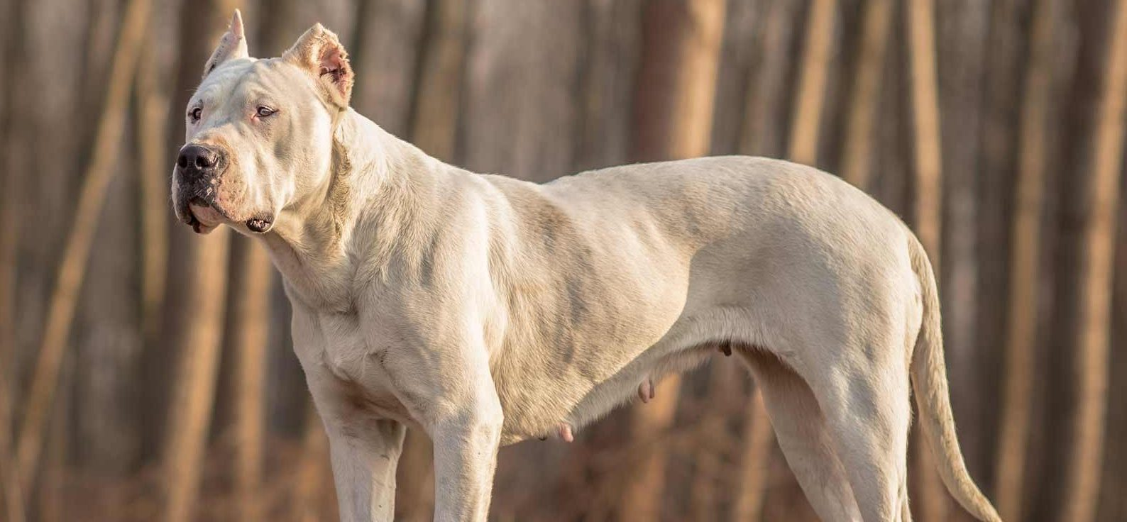 Dogo Argentino Puppies for Sale - Dogo Argentino Breed Info