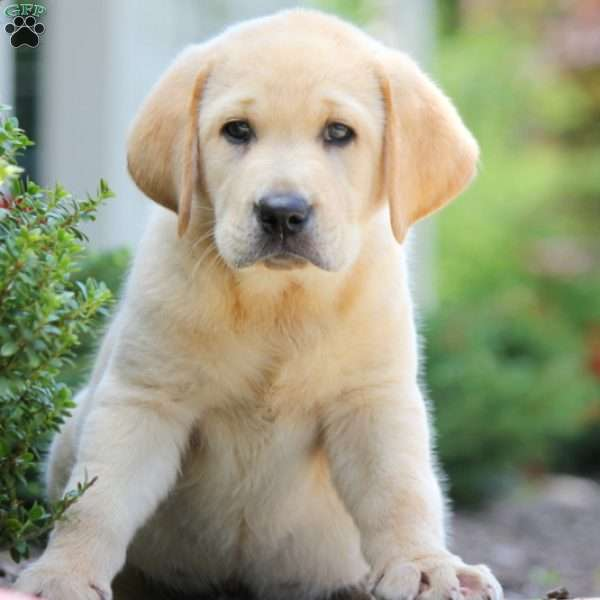 Elliot, Labrador Retriever-Yellow Puppy