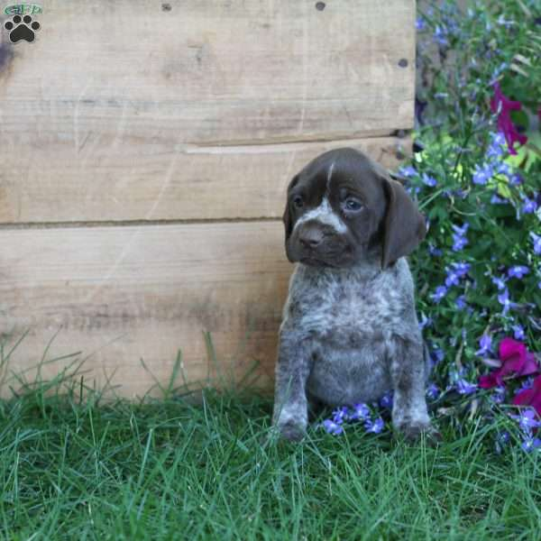 Tinkerbell, German Shorthaired Pointer Puppy