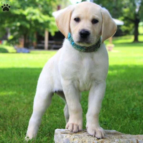 Fern, Labrador Retriever-Yellow Puppy