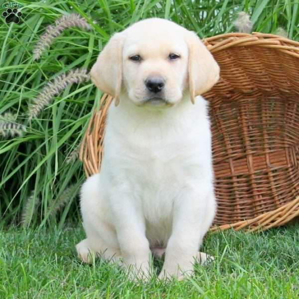 Link, Labrador Retriever-Yellow Puppy