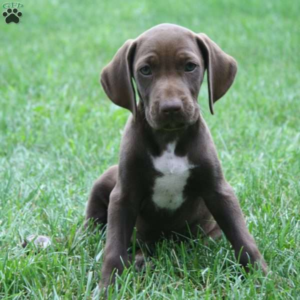 Little Lady, German Shorthaired Pointer Puppy