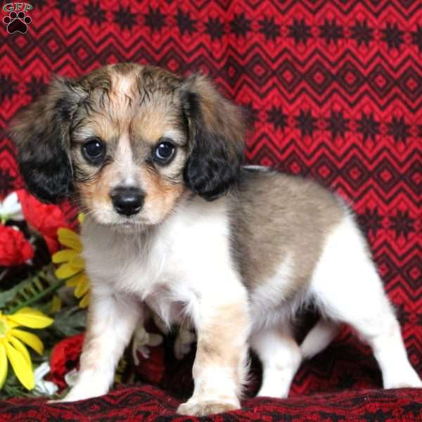 Love, Cavalier King Charles Mix Puppy