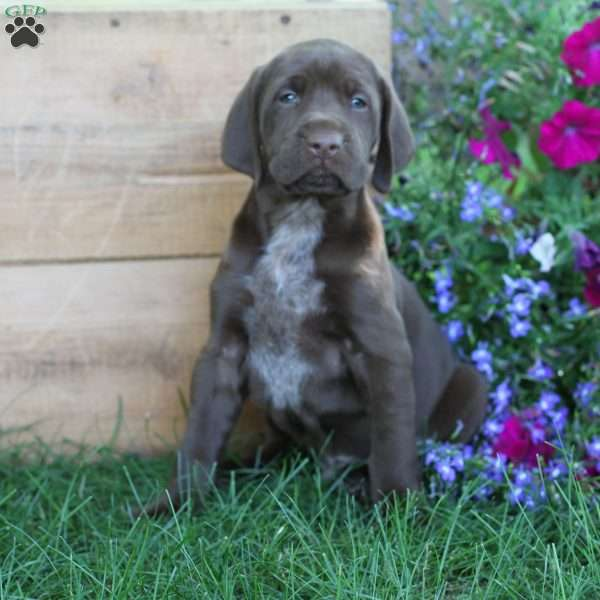 Chester, German Shorthaired Pointer Puppy