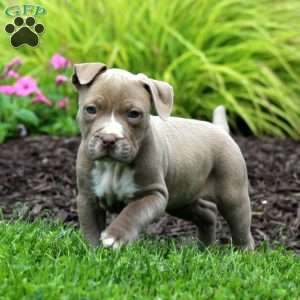 Bully Dog For Sale In Md