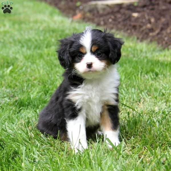 Micah, Cavalier King Charles Mix Puppy