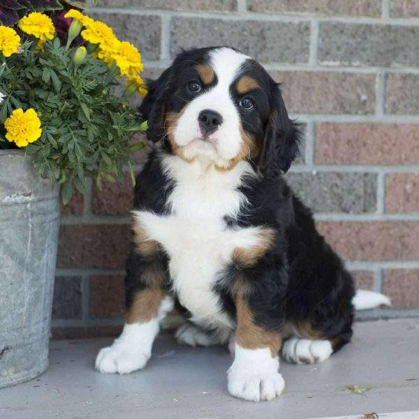 Bernese Mountain Dog-Miniature Puppy