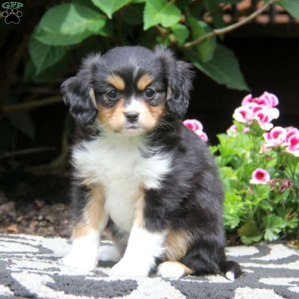 Mitzy, Cavalier King Charles Mix Puppy