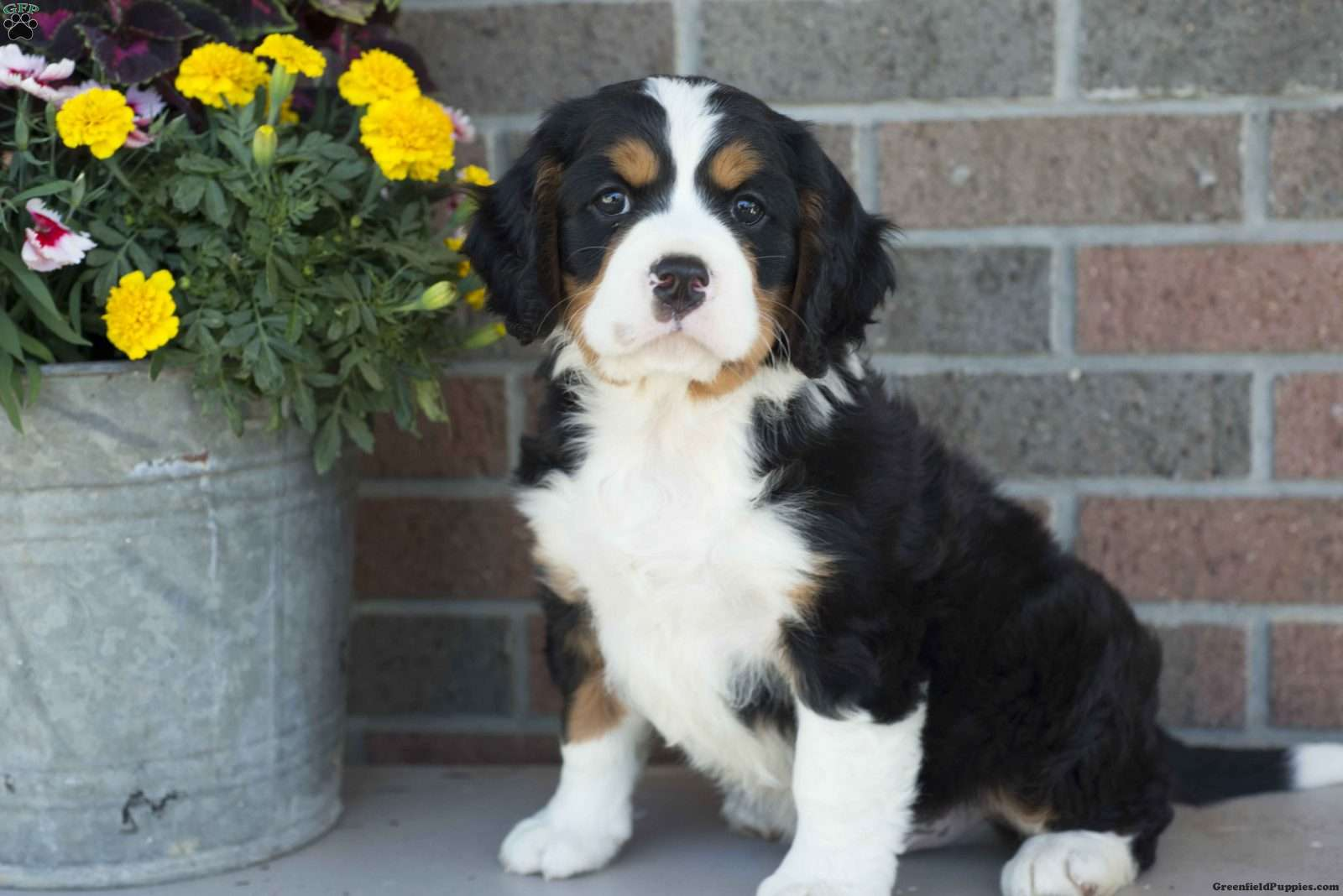 Mr Whitesocks Miniature Bernese Mountain Dog Puppy For Sale In Ohio