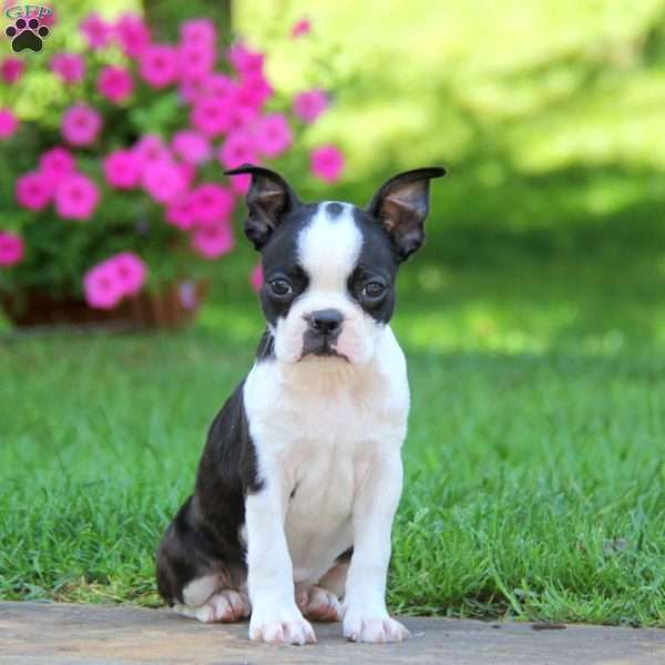 Mya, Boston Terrier Puppy