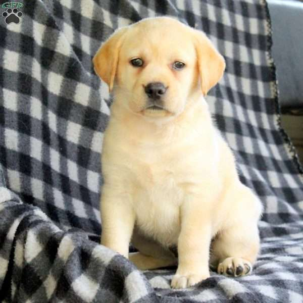 Savannah, Labrador Retriever - Yellow Puppy