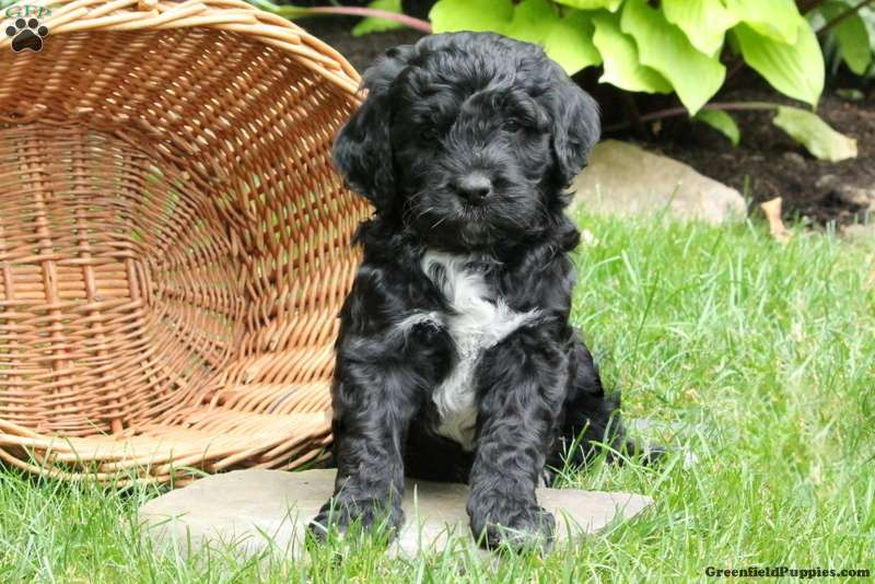 Portuguese Water Dog Mix Puppy For