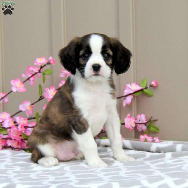 Sparky, Cavalier King Charles Mix Puppy