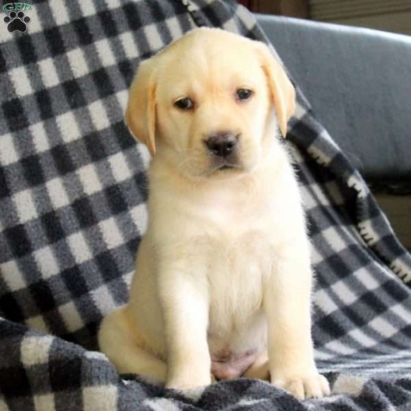 Spencer, Labrador Retriever-Yellow Puppy