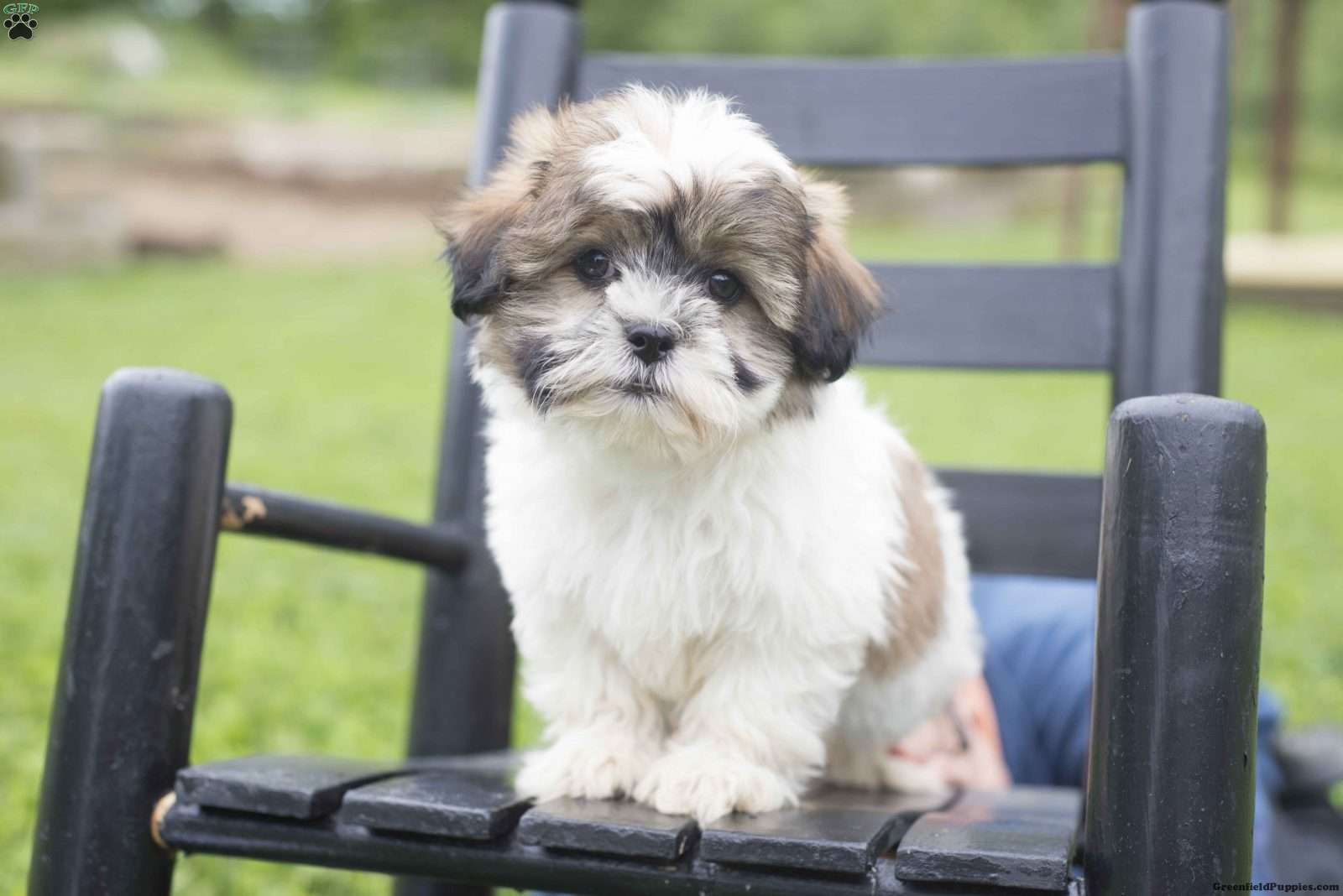 Shichon puppies for sale in indiana - A Shichon Teddy Bear Puppy Named Tara