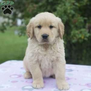 Golden retriever rescue tri state
