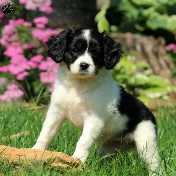 Wendy, Cavalier King Charles Mix Puppy