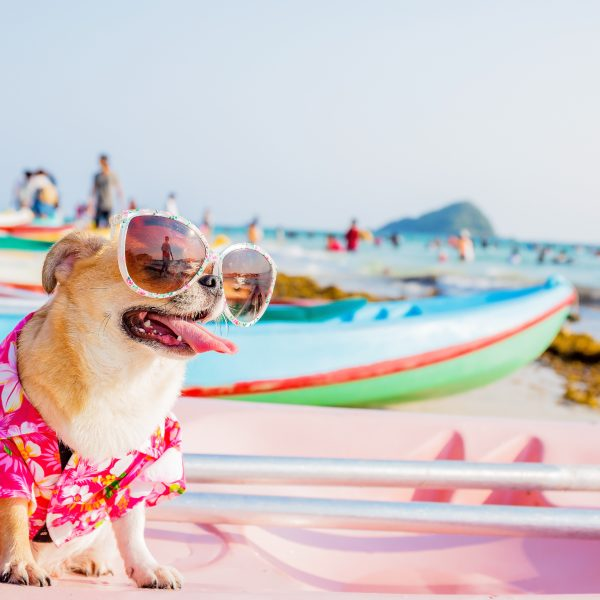 dog-friendly beaches - chihuahua relaxing on beach
