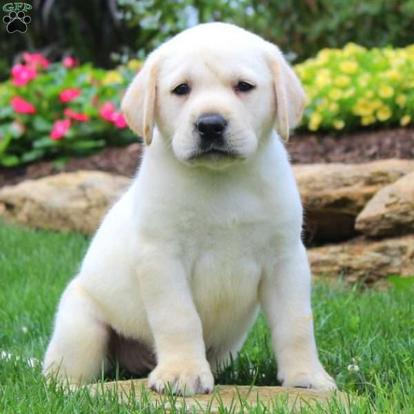 Alex, Labrador Retriever-Yellow Puppy
