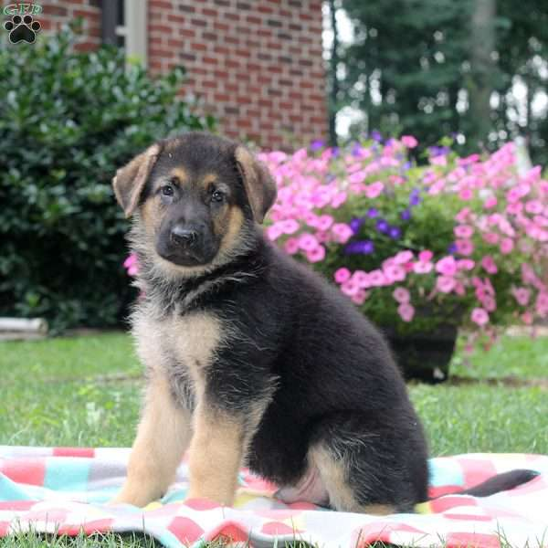 Anthony, German Shepherd Puppy