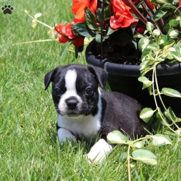Baxter, Boston Terrier Puppy
